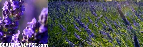 lavender-august