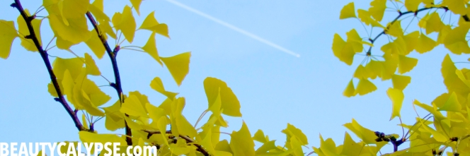 gingko-tree-fall