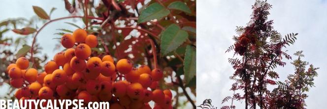 rowan-berry-tree