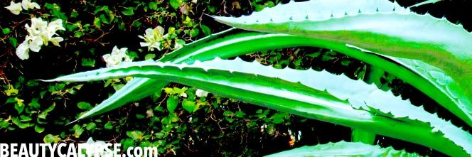 aloe-leaves