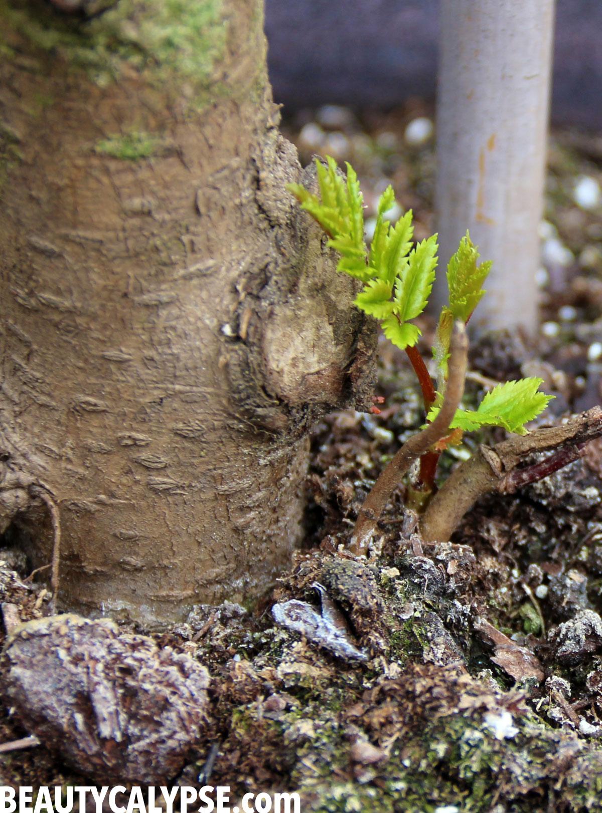 rowanberry-new-tree-future