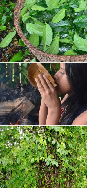Impressions from the Ecuadorean rainforest chakra garden; collecting guayusa leaves; enjoying a cuppa. All images © R. Cayapa